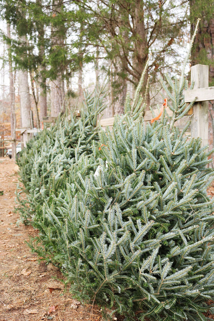 cutting-christmas-trees-lined-up